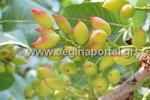 Aegina Portal – Το φυστίκι Αιγίνης Η πύλη της Αίγινας στο διαδίκτυο